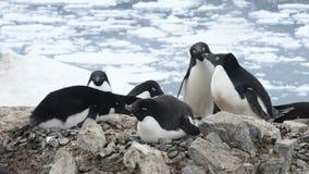 Adeliepinguïn het nest stock footage