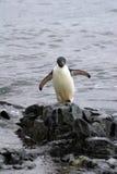Adeliepinguïn op een rots bij de rand van het strand Stock Afbeeldingen