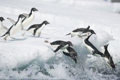 Adeliepinguïnen die zich in de oceaan van Antarctica werpen stock foto