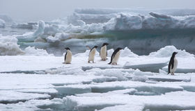 Adeliepinguïnen op Ijsijsschol in Antarctica Royalty-vrije Stock Fotografie