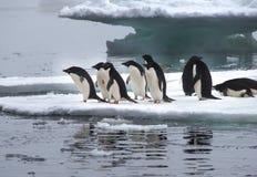 Adeliepinguïnen op Ijsijsschol in Antarctica Stock Foto's