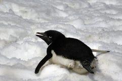 adeliepingvin Arkivfoto