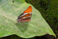 Adelpha Cytherea Linnaeus蝴蝶 免版税库存照片