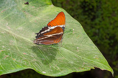 Adelpha Cytherea Linnaeus butterfly Royalty Free Stock Photos