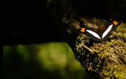 Adelpha o mariposa de las hermanas, una mariposa negra con las rayas blancas y anaranjadas que se sientan en un registro imagenes de archivo