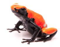 Adelphobates galactonotus orange red splash backed or splashback poison dart frog stock photography