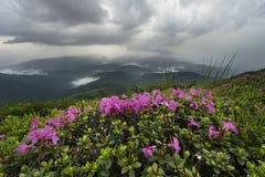 Adembenemende rododendronbloem boven de wolken Royalty-vrije Stock Foto