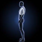 Ademhalingssysteem met skelet zijmening royalty-vrije stock foto