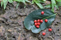 Adenanthera pavonina Samen auf grünem Blatt Stockfoto