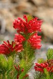 Adenanthos - Albany Woollybush Stock Photography