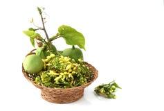 Adenia viridiflora Craib, vegetables, herbs. Northern Thailand. Royalty Free Stock Photos