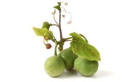 Adenia viridiflora Craib, vegetables, herbs. Northern Thailand. Stock Photography