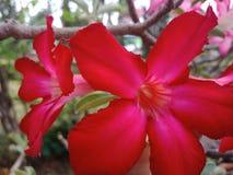 Adenium假装杜娟花Adenium obsesum Forssk Roem & Schult.Small草本开花的词根架设,与灌木词根和叶子的两个品种和种类 免版税库存照片