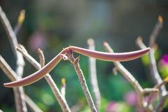Adenium或沙漠玫瑰色果子 库存图片