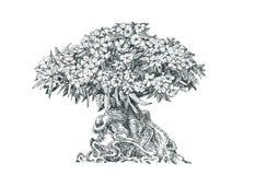 Adenium, árbol, bonsai, pluma de dibujo Imagen de archivo