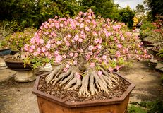 Adenium ανθίζοντας δέντρα που φυτεύονται πλήρη στα δοχεία Στοκ Φωτογραφία
