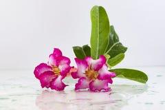 Adenium имя вида красочных цветков стоковые фото