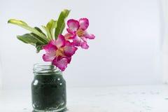 Adenium имя вида красочных цветков стоковое изображение rf