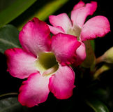 Adenium Royalty Free Stock Image