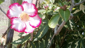 Adenium Photos stock
