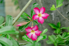 Adenium Photo stock