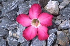 Adenium-alias Wüstenroseblume Stockbild