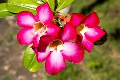 Adenium arabicum blüht mit Wassertropfen, Nusa Penida - Bali, herein Lizenzfreies Stockfoto