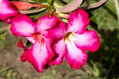 Adenium arabicum blüht mit Wassertropfen, Nusa Penida - Bali, herein Stockfotos