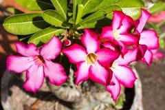 Adenium arabicum flowers with water drops, Nusa Penida -Bali, In. The Adenium arabicum flowers with water drops, Nusa Penida -Bali, Indonesia Stock Image