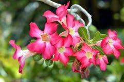 Adenium arabicum. In Marie Selby Botanical Gardens, Sarasota, Florida, USA Royalty Free Stock Image