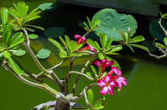 Adenium-blühende Pflanze Lizenzfreie Stockbilder