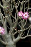 Adenium-Blüten-Impala-Lilie Lizenzfreies Stockbild