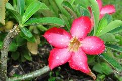 Adenium blossoms Royalty Free Stock Photos