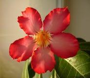 Adenium-Blume Stockbilder