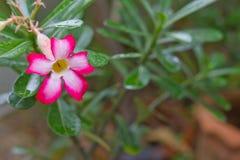 Adenium-Blume Lizenzfreie Stockfotos