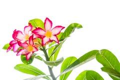 Adenium-Blume Lizenzfreies Stockbild