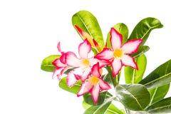 Adenium-Blume Stockfotos