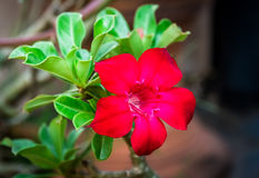 Adenium-Blume Lizenzfreies Stockfoto