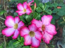 Adenium-Blume Stockbild