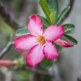Adenium cor-de-rosa Imagens de Stock Royalty Free