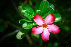 Adenium cor-de-rosa Obesum fotografia de stock