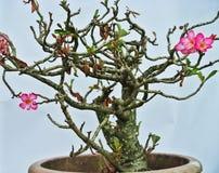 Adenium desert plant. Desert succulent desert rose pink flowers Stock Images