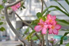 Adenium, Desert rose royalty free stock photos