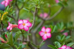 Adenium or desert rose Stock Photos