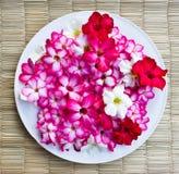 Adenium farbige Blumen. Lizenzfreies Stockfoto