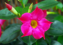 Adenium flower Royalty Free Stock Image
