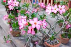 Adenium. The adenium flower and tree Royalty Free Stock Image