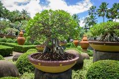 Adenium in flowerpot Royalty Free Stock Photos