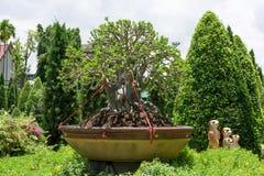 Adenium in flowerpot Stock Photos