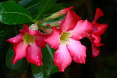 Adenium  flowers Stock Image